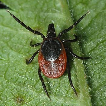 ixodes-ricinus-female
